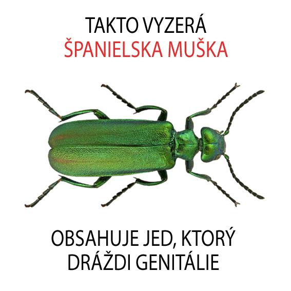 spanielska_muska_pluzgiernik