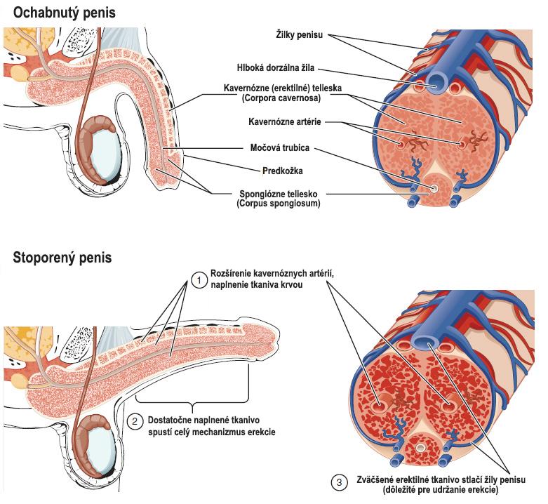 Anatómia penisu pri erekcii