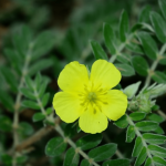 kvet kotvičníka – tribulus terrestris