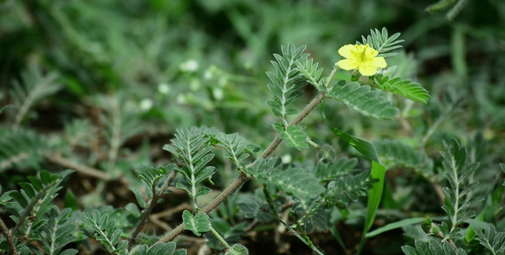 Kotvičník zemný pestovanie