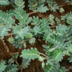 kotvičník zemný – rastlina